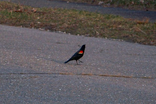 Red Winged Blackbird steppin' out