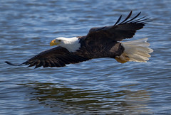 Bald Eagle zooming above the Mississippi (Todd Ryburn) Tags: nature water birds animal animals river flickr eagle wildlife uploaded baldeagle iowa raptor mississippiriver eagles raptors 2010 baldeagles specanimal zenfolio lockdam14
