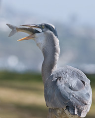 Glutton - Explored: March 25, 2010 (Steve Corey) Tags: birds explore greatblueheron herons largebirds specanimal glutto naturescomedy