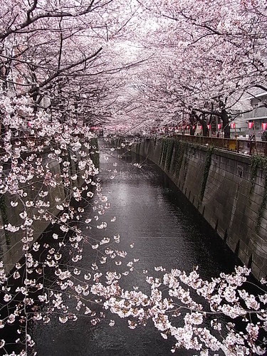 RIMG1390 目黒川 桜 Meguro-Ku Tokyo Japan