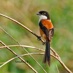 Long-tailed Shrike (somchai@2008) Tags: laniusschach longtailedshrike supershot  coth5