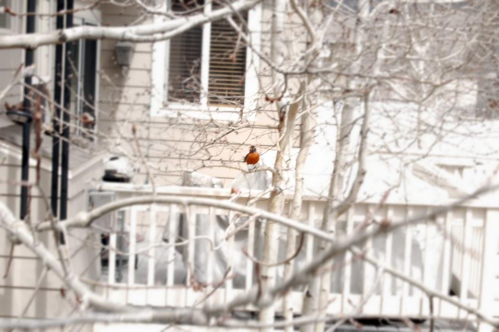 1st Spring Robin
