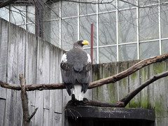 National Aviary - Steller's Sea Eagle (fkalltheway) Tags: bird pittsburgh eagle springbreak raptor zootrip haliaeetuspelagicus stellersseaeagle nationalaviary fkalltheway nationalaviarypittsburgh