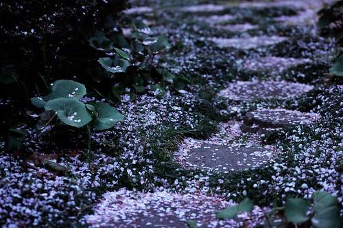 桜の花、散るころ