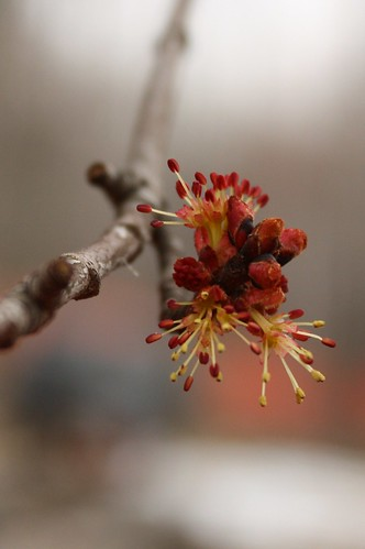 Maple tree bud.