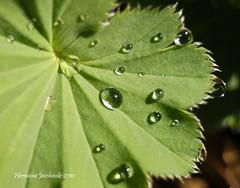 Lady's Mantle (HME Jaschinski) Tags: macro leaf nikon waterdrops ladysmantle d80