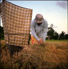 223479510 (Nasey) Tags: life portrait people 120 6x6 film rural mediumformat paddy bokeh manatwork squareformat malaysia farmer kampung terengganu carlzeiss kualaterengganu hasselblad500cm 80mmf28 autaut nasey nasirali manir planarct mengetampadi