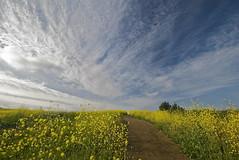 Early Morning with the Mustard Blossoms (nebulous 1) Tags: california blue brown green yellow sunrise nikon centralpark explore huntingtonbeach gir mustardblossoms nebulous1