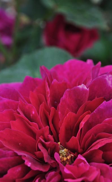Rose Prospero