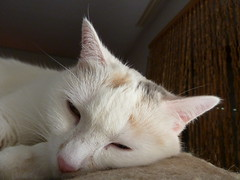 "2011, 6 - ""Kommt der schon WIEDER mit dem Fotodings ...!"" (Joa Chim) Tags: pet cats pets cat gina lina katze katzen whitecat haustier haustiere whitecats ekh linaundgina"