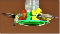 Amigos para sempre... / Friends Forever... (Marina Linhares) Tags: nature birds hummingbird friendship natureza amizade pássaros beijaflor sebinho ¨nikon doublyniceshot mygearandme ringexcellence d3000¨
