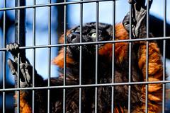Red Ruffed Lemur (Nogeyama Zoo) : アカエリマキキツネザル(野毛山動物園) (Dakiny) Tags: 2017 winter february japan kanagawa yokohama nishiward nogeyama outdoor park nogeyamapark zoo nogeyamazoo creature animal mammal monkey lemur ruffedlemur redruffedlemur bokeh smile nikon d7000 sigma apo 70200mm f28 ex hsm apo70200mmf28dexhsm sigmaapo70200mmf28dexhsm nikonclubit2017 nikonclubit