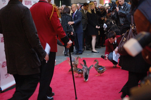 Peabody Ducks walking the red carpet at Memphis the Musical