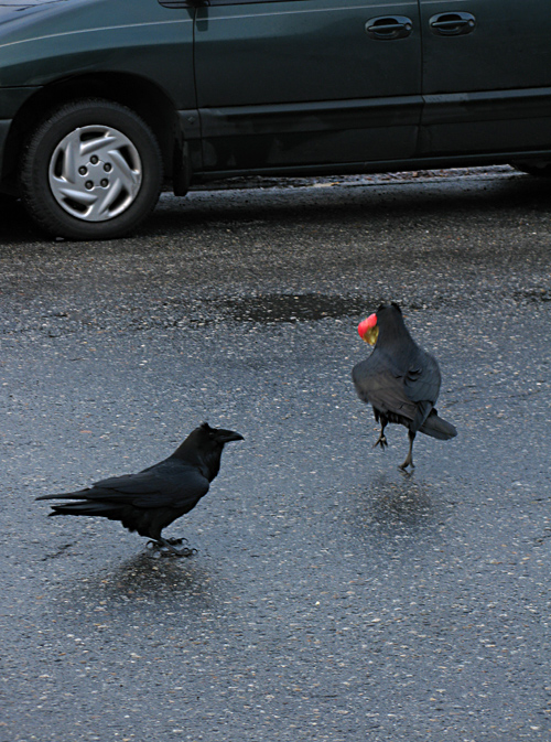 two ravens and an apple, Juneau, Alaska
