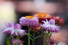 flowers for a cold and rainy Friday (nosha) Tags: flowers usa flower nature beautiful beauty minnesota nikon bokeh july organic mn 2009 lightroom blackmagic nosha 1800sec natureycrap nikond40 centerweightedaverage 0mmf0 113ev ul20090809 18augulh