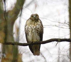 IMG_4563gw # 2 (Explore # 450) (george_gww) Tags: red hawk tail soe specanimal vosplusbellesphotos