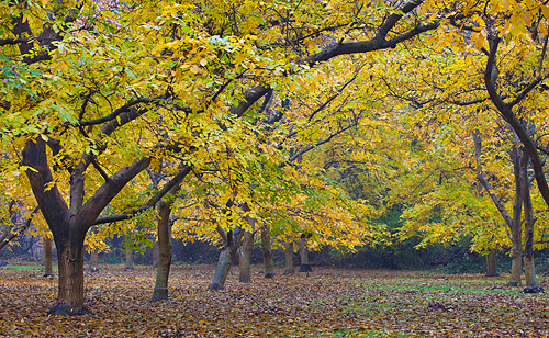 Walnut Orchards in Fall - Sacramento Valley