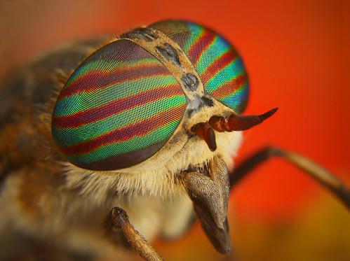 フリー画像| 節足動物| 昆虫| 虻/アブ| ウシアブ|       フリー素材|