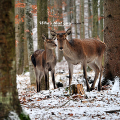 first snow in the woods (Bazalai) Tags: winter snow forest cow woods doe deer fawn romania calf hind roumanie bucovina cervidae rumnien femaledeer suceava romnia bukowina mariusvasiliu terradesign bazalai bucovine travellerinastillexistingworld voyageurdansunmondequiexisteencore viajeroporunmundoqueanexiste cltorntrolumecaremaiexist vndoregymgltezvilgban aradesus inutulsucevei