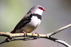 Diamond Firetail (marj k) Tags: bird nsw dubbo birdwatcher estrildidae stagonopleuraguttata diamondfiretail ausbird 200912195691