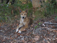 It's an Australian Dingo!
