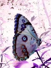 Negativo (Pedro Galdino) Tags: borboleta asa negativo itaipuau pedradoelefante fotoemnegativo