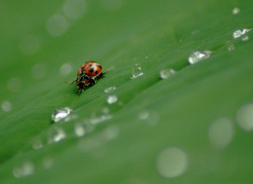 The Lady Bug...
