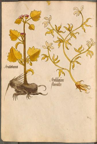 Arzneipflanzenbuch, 1525 e
