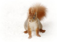 """@ (red R) Tags: squirrel mkus"