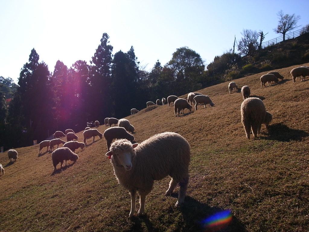 清境 綿羊