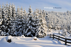 all the magic (Bazalai) Tags: winter shadow white snow forest fence landscape sunny romania alb snowscape winterscape roumanie bucovina rumnien brazi senin peisaj suceava romnia zpad bukowina iarn umbr mariusvasiliu terradesign bazalai bucovine atqueartificia artofimages travellerinastillexistingworld voyageurdansunmondequiexisteencore viajeroporunmundoqueanexiste cltorntrolumecaremaiexist bestcapturesaoi aradesus inutulsucevei