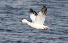 Snow Goose (Steve Byland) Tags: snow bird nature canon goose chen caerulescens newjerseyusa merrillcreekreservoir avianexcellence