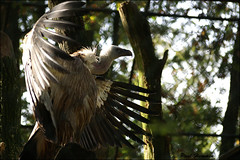 Look at me (Paul Hemmen) Tags: bird nature netherlands zoo this big id arnhem vale burgers unknown vulture griffon gyps fulvus gier