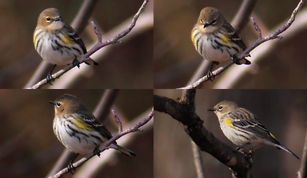 yellow-rumped warbler - surveying the scene