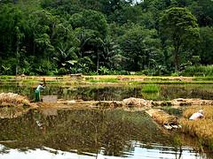 Panen (QooL / بنت شمس الدين) Tags: travel water rice fields farmer padi sulawesi harvesting qool tanatoraja makassar enrekang panen ujungpadang torajaland qoolens
