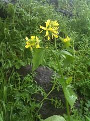 Yellow kerpupulous