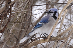Blue Jay (TheNatureDude) Tags: bluejay palosforestpreserve illinoiswildlife spearswoods