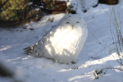 Snow Owl at Artis Zoo, Amsterdam