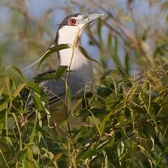 A black-crowned Night-heron, I guess. (Ronai Rocha) Tags: bird heron nature wildlife ave freebird blackcrownednightheron nightheron garçanoturna ninhal avesalemãofaria