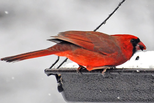Northern Cardinal swoop