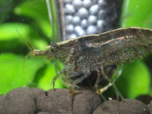 P3061785 黑殼蝦