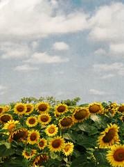Sunflowers and sky (*Marta) Tags: summer sky texture sunflowers summerfield gettyimagesitalyq1 gettyimagesgreece1 gettygreecefamily gettyimagesitalyq2