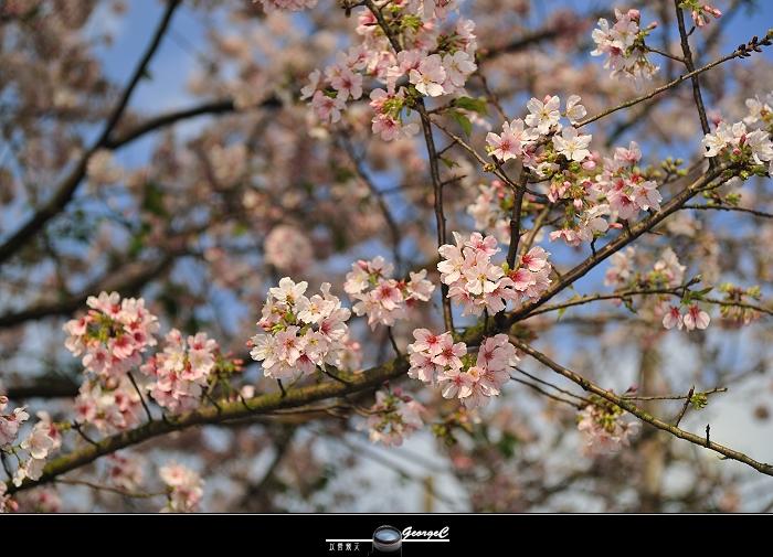 Sakura sunny 21