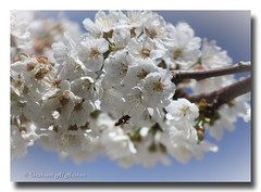 Bee & Cherry blossom (Alhashan) Tags: favorite flower beautiful beauty canon cherry photo amazing nice fantastic perfect niceshot image superb outdoor gorgeous awesome blossoms award bee excellent syria cherryblossom capture imaginary            50d               alhashan