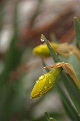 A Daffodil Flower Bud. (AppleBlossom12) Tags: white snow plant cold flower green nature water beautiful leaves rain yellow canon outside outdoors petals drops spring pretty blossom gorgeous foliage daffodil attractive greenery dslr waterdrops flowerbud sigma18250 rebelxsi
