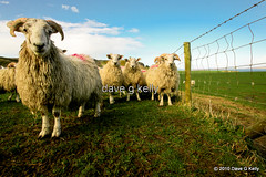 Baa-Ram-Ewe (Dave G Kelly) Tags: ireland sky irish nature grass animal animals canon fence vanishingpoint sheep farm farming flock land northernireland canon5d agriculture antrim lowperspective ewe coantrim canoneos5d lookingatcamera flickraward platinumheartaward davegkelly flickraward5 copyright2010davegkelly gettyimagesirelandq1