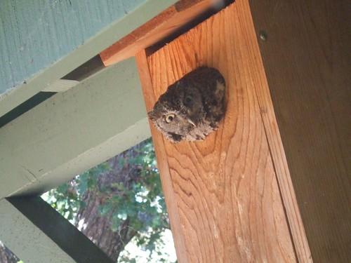 screech nest box1