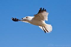 sore like a... seagull :-) (HisPhotographs.com) Tags: statepark lake photoshop ga georgia seagull adobe savannah mayer bif sav birdinflight cs3 lakemayer
