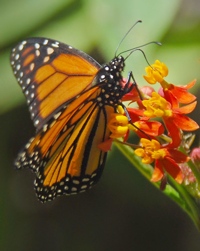 Monarch sipping nectar