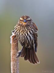 Don't Give Me That Look! (Eric.Vogt) Tags: birds washington spring avian redwingedblackbird ridgefield ridgefieldnationalwildliferefuge ridgefieldnwr troupialsamericanblackbirdsandallies